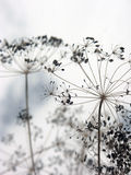 Dried dill umbrellas with seeds of fennel in autumn Royalty Free Stock Photography