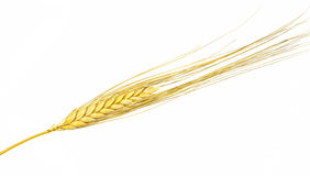 Dried Ear of Cereal crop Stock Photography
