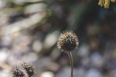 Dried Echinacea on a blurry background , place for text. royalty free stock photos