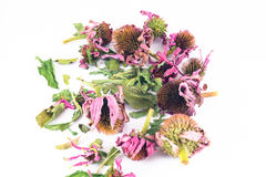 Dried echinacea purpurea in white background Stock Photo