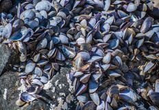 Dried empty shells of molluscs. Selective focus Stock Photo