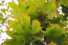 Dried exhausted tips of green maple leaves, environmental problems, death of a tree stock images
