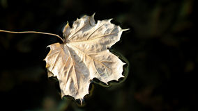 Dried and faded Maple Leaf floating on surface of calm waters Stock Images