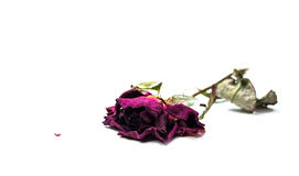 Dried faded rose isolated Stock Image