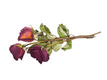 Dried faded roses. On pure white background Royalty Free Stock Photography
