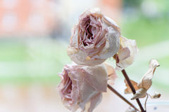 Dried faded roses on blurred boreh background Royalty Free Stock Image