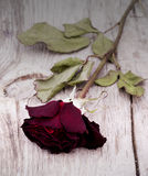 Dried faded roses Stock Photography
