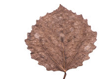 Dried fall aspen leaf. Highly detailed pressed dried fall aspen leaf Royalty Free Stock Photo