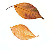 Dried fall leaves Royalty Free Stock Images