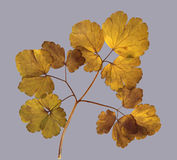 Dried fall leaves of grass plants isolated elements on white  ba. Ckground for scrapbook, object, roughage autumn leaf Stock Photo