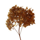 Dried fall leaves of hydrangea flowers isolated elements on whit. E  background for scrapbook, object, roughage autumn dry leaf Stock Photos