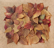 Dried fall leaves of plants, elements raspberry leaves laid out. On cardboard with a place for accommodationon  background for scrapbook, object, roughage Royalty Free Stock Images