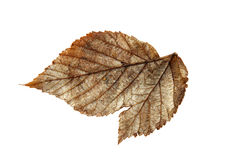 Dried fall leaves of plants, isolated elements on white  backgro. Und for scrapbook, object, roughage autumn leaf Stock Photo