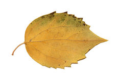 Dried fall leaves of plants, isolated elements on white  backgro. Und for scrapbook, object, roughage autumn leaf Royalty Free Stock Images