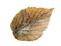 Dried fall leaves of plants, isolated elements on white  backgro Royalty Free Stock Photography