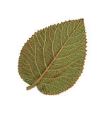 Dried fall leaves of plants isolated elements on white  backgrou. Nd for scrapbook, object, roughage autumn dry leaf Royalty Free Stock Photo