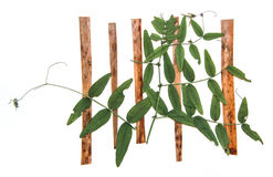 Dried fall leaves of plants  of plants green sweet peas on the p. Egs of the fence, branches isolated elements, white, background for scrapbook, wooden planks Stock Photos