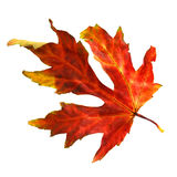 Dried Fall Maple Leaf. A Fall maple leaf dried on white Stock Image