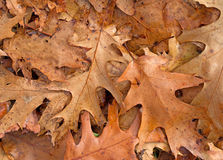 Dried fall red oak leaves on the ground Royalty Free Stock Photos