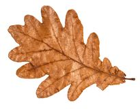 Dried fallen brown autumn leaf of oak tree. Cut out on white background stock images