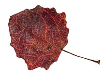 Dried fallen dark red autumn leaf of aspen tree. Cut out on white background royalty free stock image