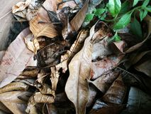 Dried fallen mango leaves against green plant royalty free stock image