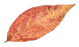 Dried fallen pink autumn leaf of willow tree royalty free stock photography