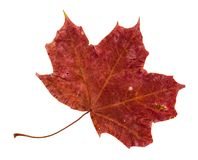 Dried fallen red autumn leaf of maple tree. Cut out on white background royalty free stock images