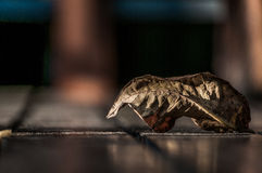 Dried and fallen. A shot of a fallen dried leaf on a wooden floor Royalty Free Stock Image