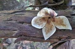 Dried falling flower on old rotten wood Royalty Free Stock Photo