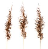 Dried feather grass plants isolated stock image