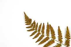 Dried fern detail on white Stock Photos