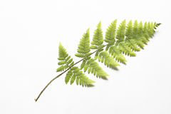 The dried fern for a herbarium. The dried fern on a white background Royalty Free Stock Image
