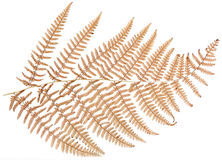 Dried fern leaf. On white background stock illustration