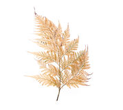Dried fern leaf. On white background Stock Photos