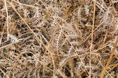 Dried Fern Leaves. A full frame photograph of dried fern leaves, taken during autumn Royalty Free Stock Images