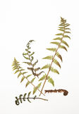 Dried fern leaves for a herbarium on white royalty free stock photos