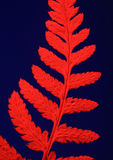 Dried Fern with Red Filter Stock Image