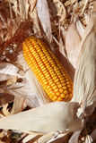 Dried Field Corn on the Cob Stock Images