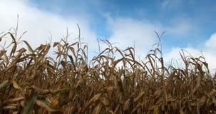 Dried Field Corn, Cornfield, Harvest Royalty Free Stock Photos