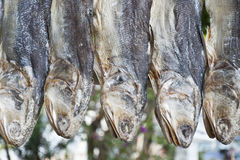 Dried fish. A row of dried little yellow croakers Stock Photos