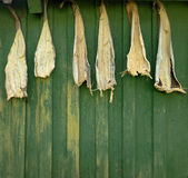 Dried fish hanging against green wooden wall. Norway Stock Photos