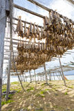 Dried fish hanging on a rorbu. In the Lofoten Stock Photo
