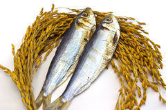 Dried fish on paddy  Rice isolated Stock Photos