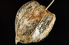 Dried flower of a chinese lantern plant. Extracted in front of a black background Stock Photo