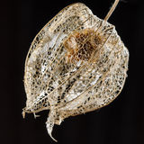 Dried flower of a chinese lantern plant. Extracted in front of a black background Stock Photos