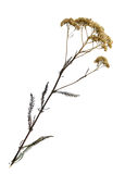 Dried flower of common yarrow stock images