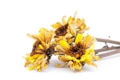 Dried flower, Dried chrysanthemum Royalty Free Stock Photo