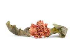 Dried flower, Dried jasmine flower Royalty Free Stock Image