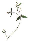 Dried flower of gallant soldier Stock Photos